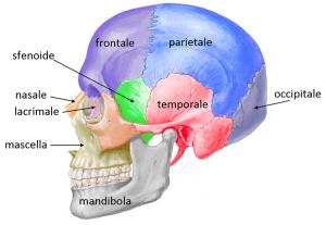 cranio_laterale